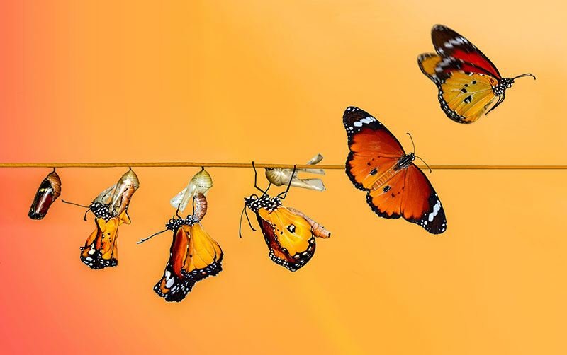 Photo depicting the stages of life for a butterfly, from cocoon to full butterfly
